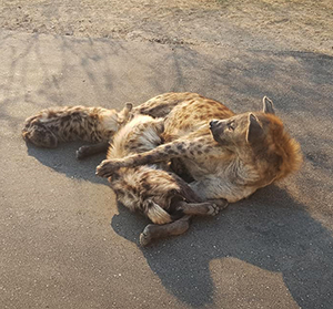 Hyena Pups-Kruger 2018